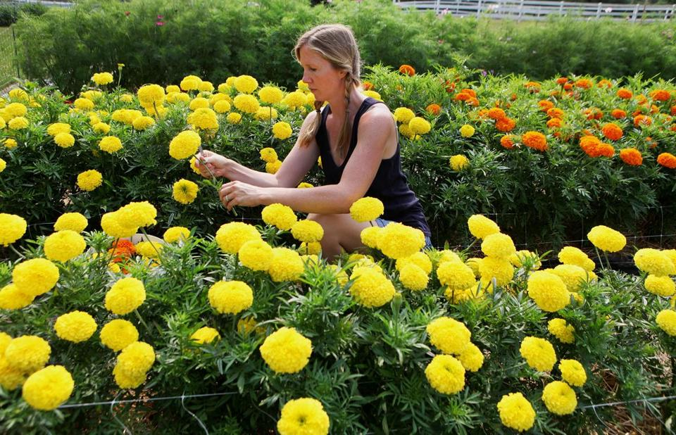 Melissa Glorieux picks giant African marigolds at Aster B. Flowers, her farm in Essex.