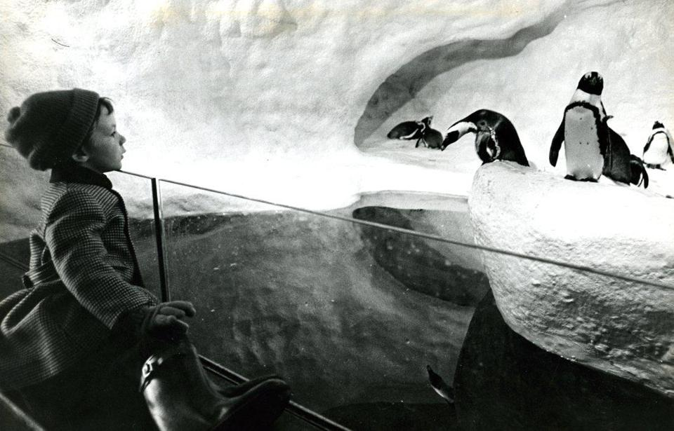"February 26, 1973: Stephen Genthe, 5, from Newark, New Jersey, enjoyed the antics of the penguins on their fake snowy ""icebergs."" Ten black-footed penguins were shipped from South Africa to the aquarium for the opening in 1969. The birds, which cost $80 each, took a two-day flight without food or water. They would have become ill if fed or watered in flight. By the time this photo was taken, they were well-accustomed to their new home in Boston."