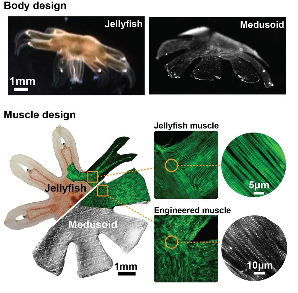 Scientists seeded silicon polymer with rat heart cells to create a jellyfish-like pseudo-organism.
