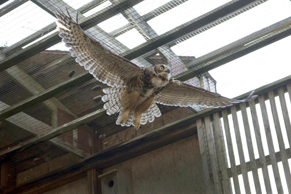 A juvenile great horned owl tests its wings in a flight cage at the Tufts Wildlife Clinic in Grafton a few hours before its release last month.