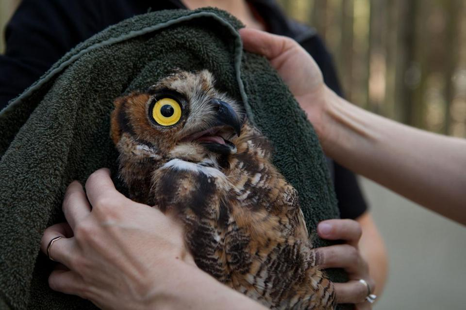 A juvenile male great horned owl was examined at Tufts Wildlife Clinic a few hours before it was released back into the wild.