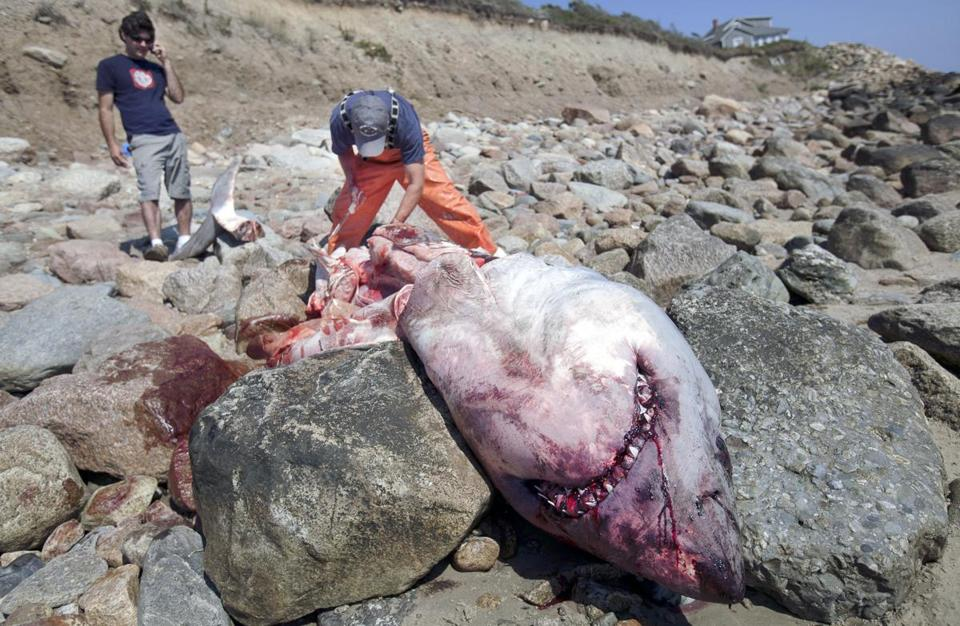 Researchers examined the carcass of a great white shark that washed up in Westport on Saturday.