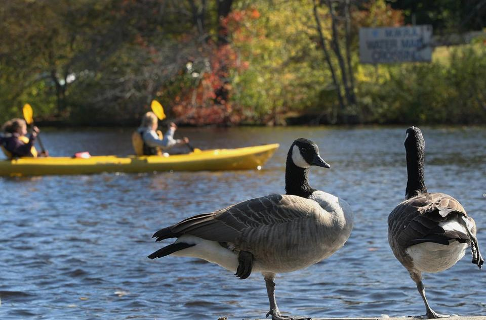 Kayakers glide past Canada Geese on the Charles River in Weston.