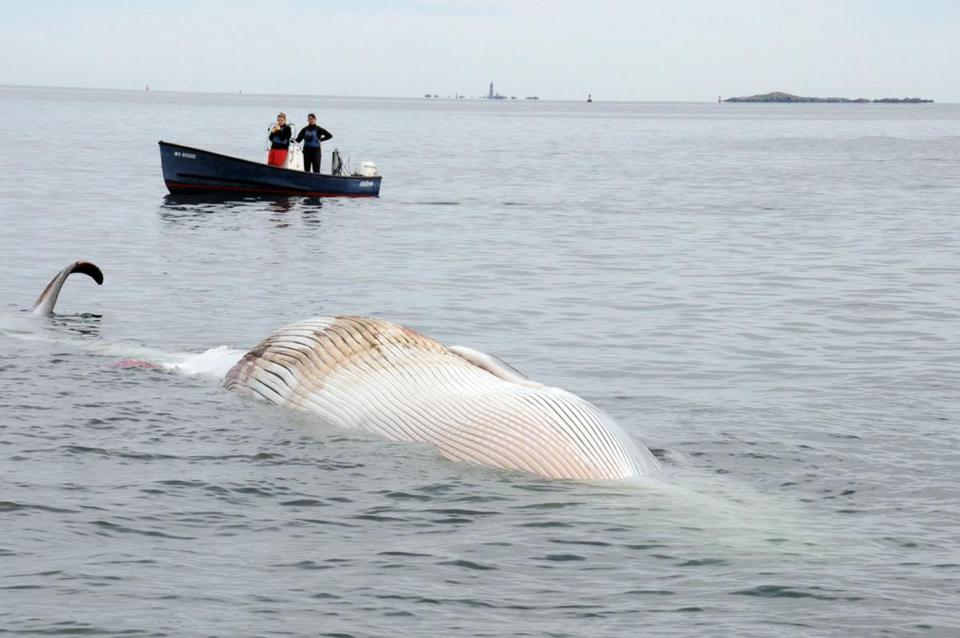 A dead finback whale was found floating in Boston Harbor early Sunday. The carcass nearly washed up on Long Island.