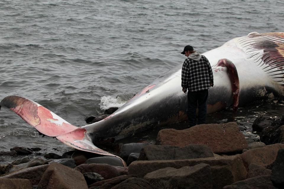 Boat captain Steve Leuchte took a close look at the dead finback whale on Rainsford Island on Oct. 9.