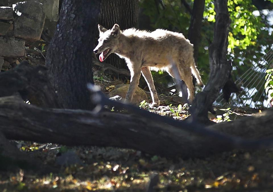 BOSTON ,MA 10 / 18 / 2012: Around the Mattapan area near the Mildred Middle School which went on lockdown as Boston Police search for coyote and did recover the animal. The coyote sen here by Flint street.( David L Ryan / Globe Staff Photo ) SECTION: METRO TOPIC 19coyote