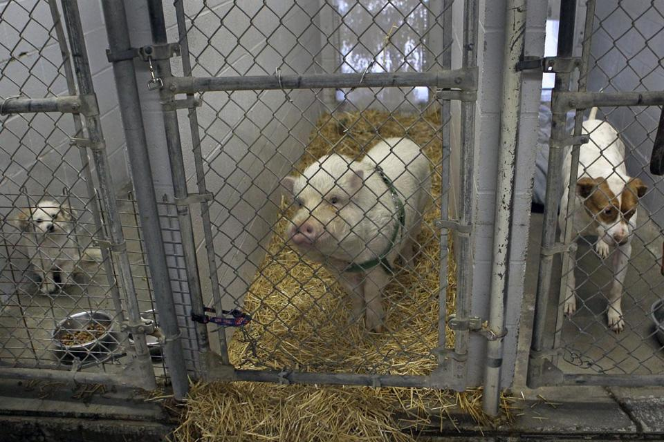 Porkchop is cooling his hooves in the city kennel while his owner tries to find him a new home.