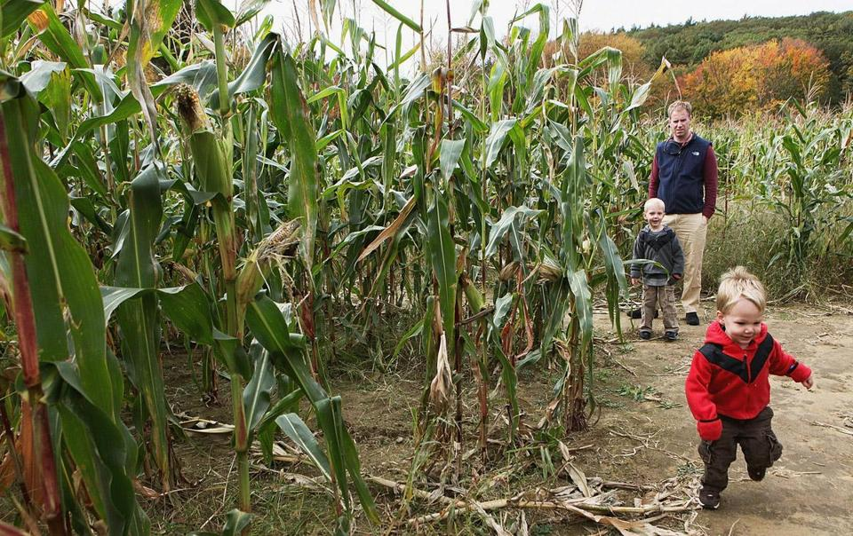 Jamie Freeland looks on as sons Collin, 3, and Reid, 2, romp through the corn maze at Hanson's Farm in Framingham last week.