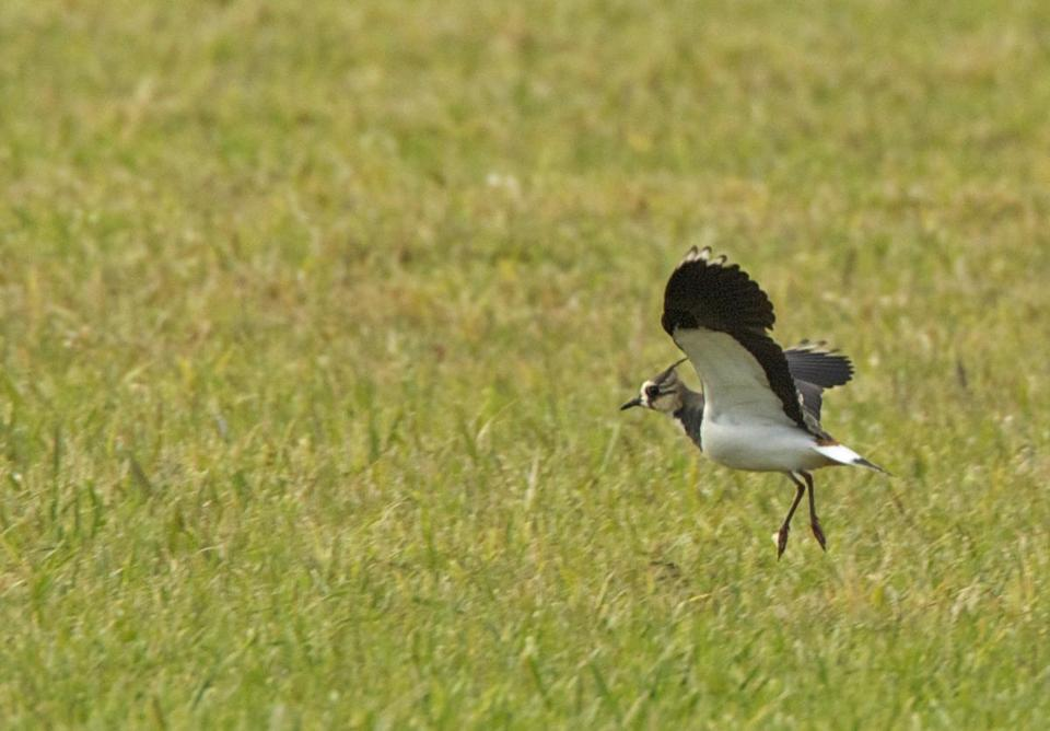 In Sandy's wake, at least five storm-tossed lapwings have been spotted in Massachusetts.