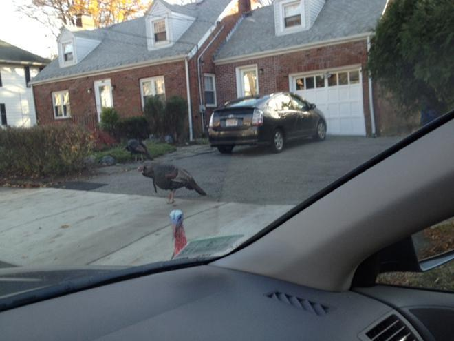A wild turkey wandered about in a Newton neighborhood. State officials say people must learn to live with the birds.