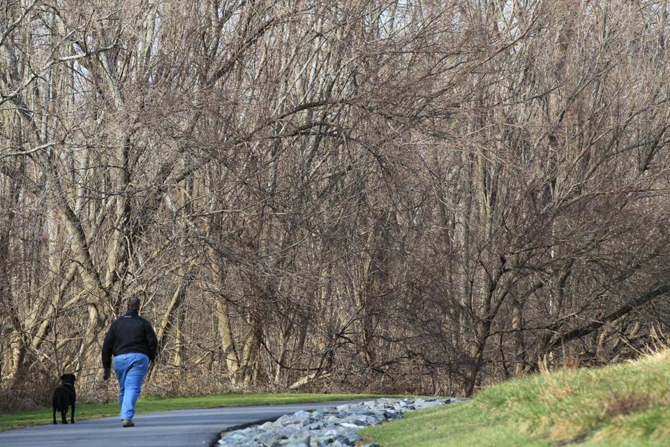 A man and his dog strolled near beaver habitat in Millennium Park in West Roxbury.