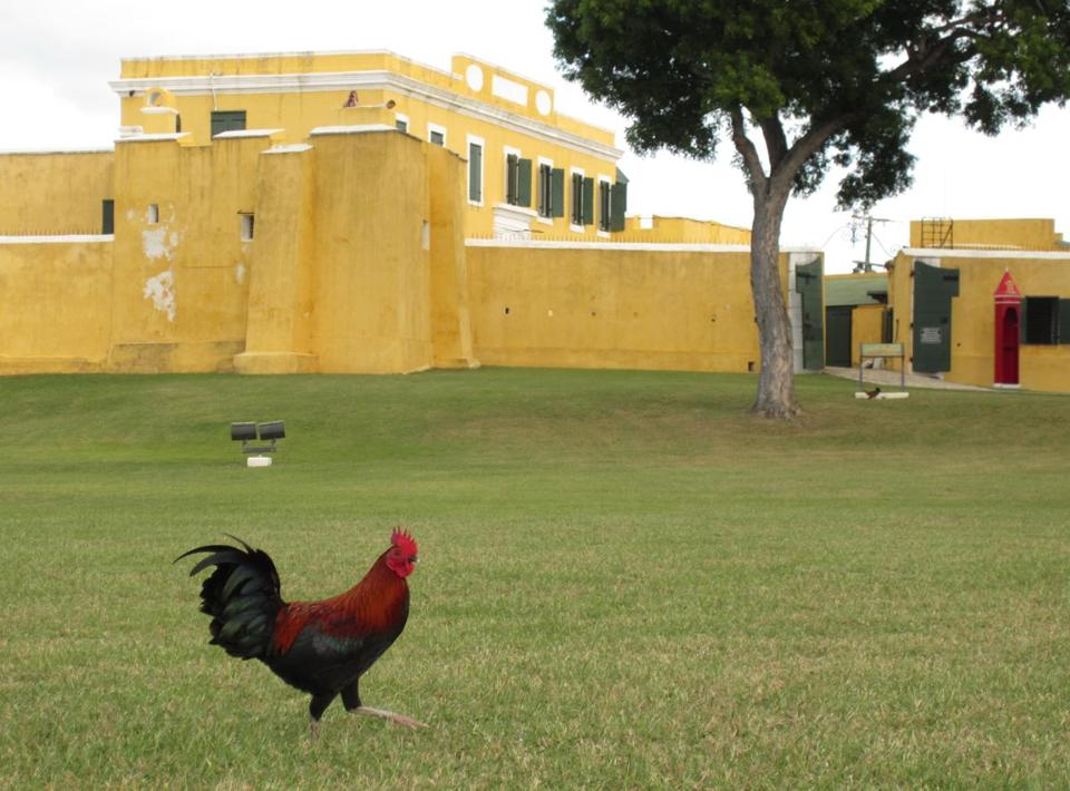 A rooster wandered the grounds of Fort Christiansvaern in Cristiansted, built in 1738.