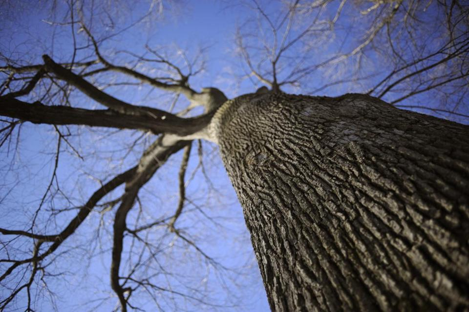 (Providence, Rhode Island) A nearly 100 year old elm tree on the property of the John Brown House Museum seen Saturday, Jan. 5, 2013, in Providence, Rhode Island, has Dutch elm disease and will be cut down toward the end of January. (Gretchen Ertl for The Boston Globe)