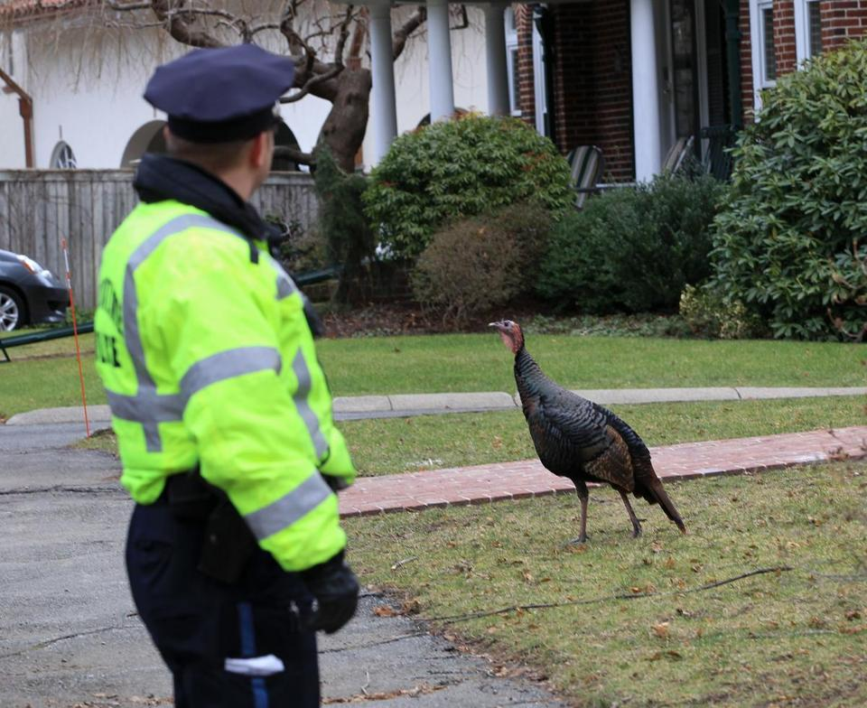 BROOKLINE , MA.01/15/13: Brookline Police hunting for wild turkeys that are terrorizing the citiziens around Aspinwall Hiil, Brookline High School, Tappan (St.) and Gardner(Rd.) ( David L Ryan/Globe Staff Photo ) SECTION: METRO TOPIC 16turkeyphoto