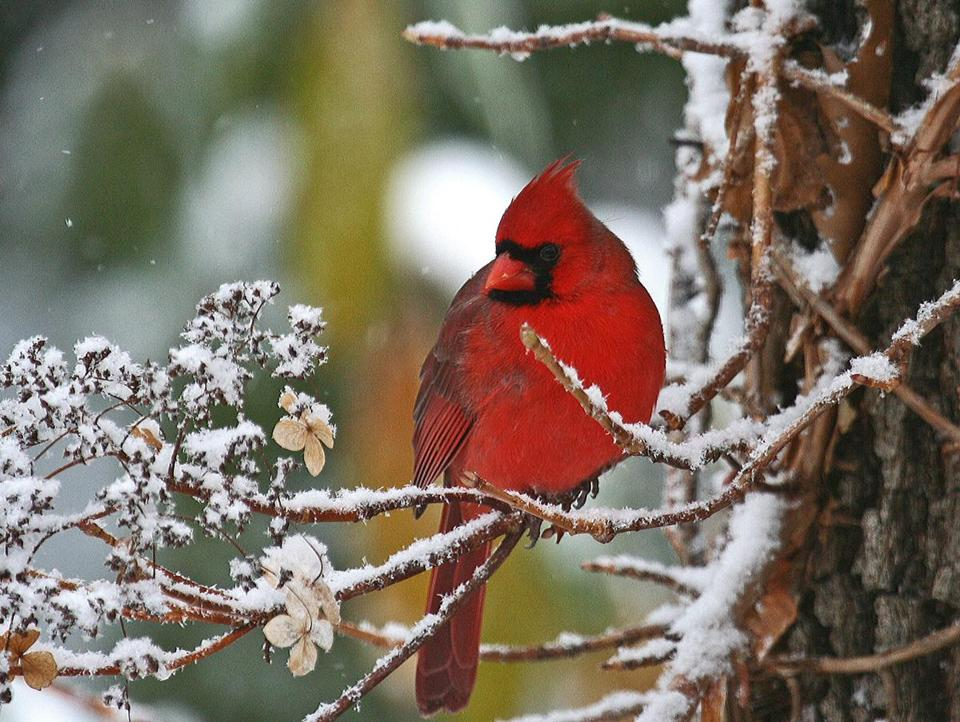 A cardinal might be spotted in the February count.