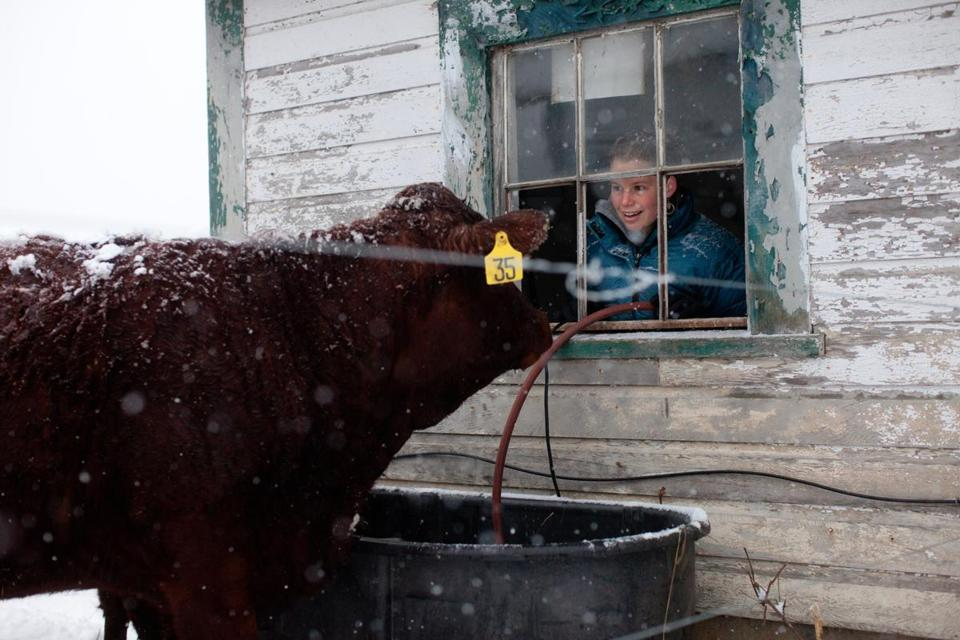Student farmer Caitlin Sargent of San Anselmo, Calif., looked out at one of The Farm School's Red Devon cows during chore time on Jan. 16, 2013.