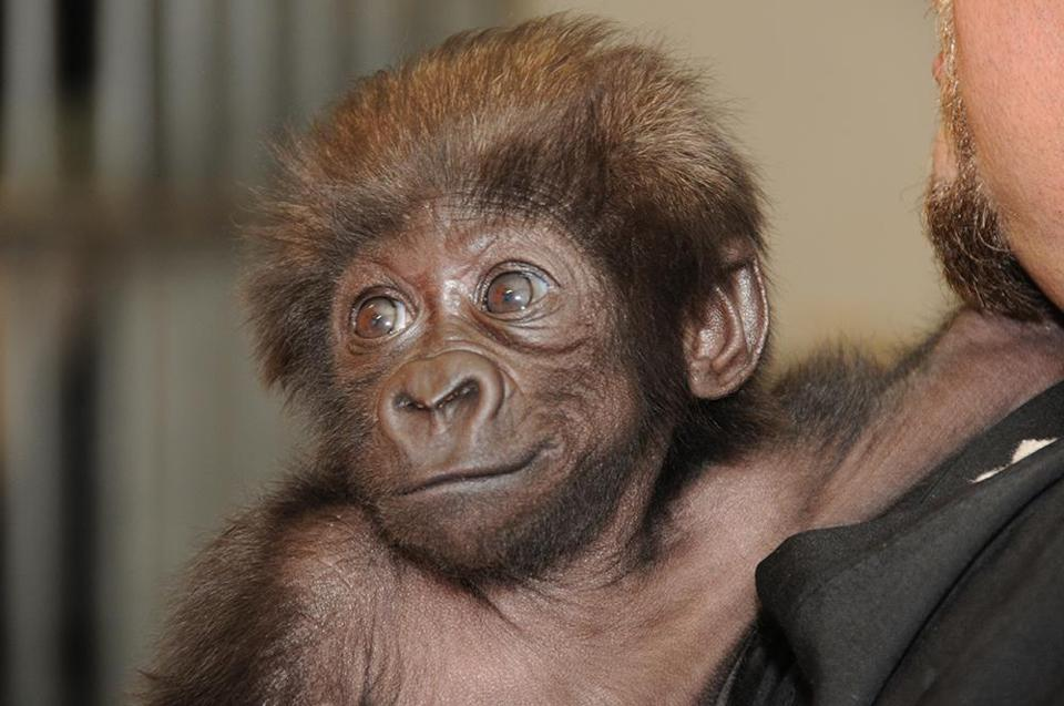 Gladys, a baby gorilla, is getting round-the-clock tender care from a team of zoo workers after being moved to Cincinnati.