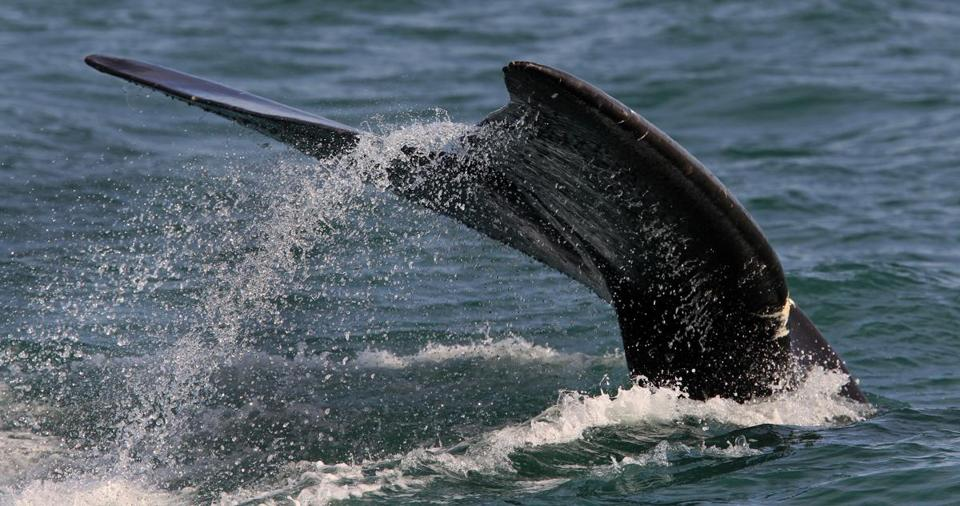 The fluke of a right whale was seen near Provincetown in March.