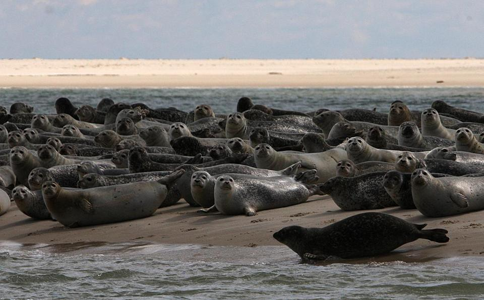 Harbor seals hauled up on the south end of North Beach Island on Saturday.