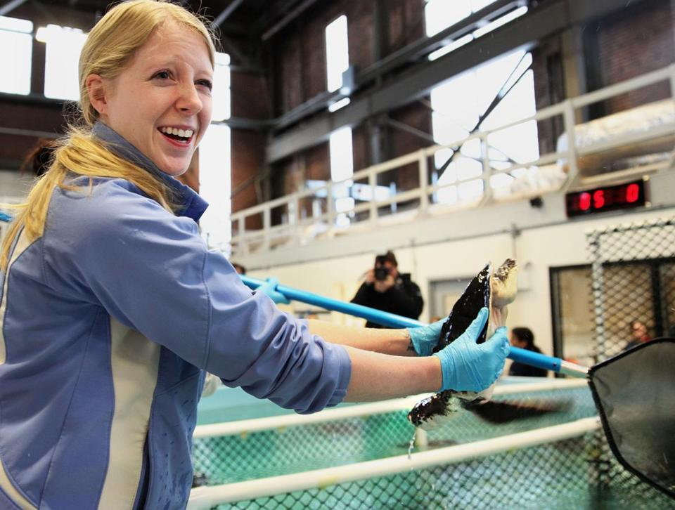 Lindsay Grumbach handled a sea turtle at New England Aquarium's Quincy facility, where about 50 turtles were packed up for road trip to Florida for release into warm Gulf waters.
