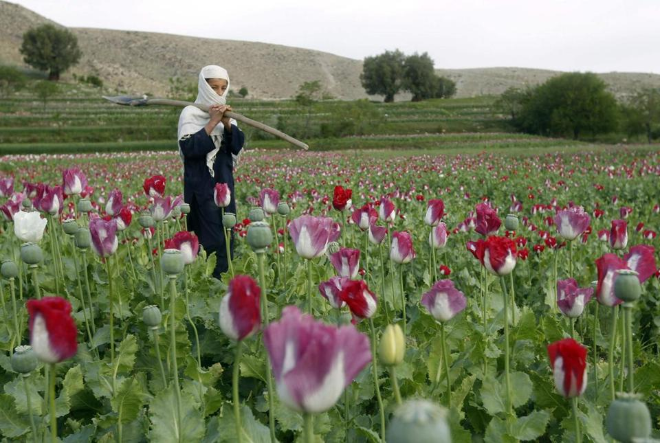 The acreage devoted to growing opium poppies this year is expected to top 2008's peak.