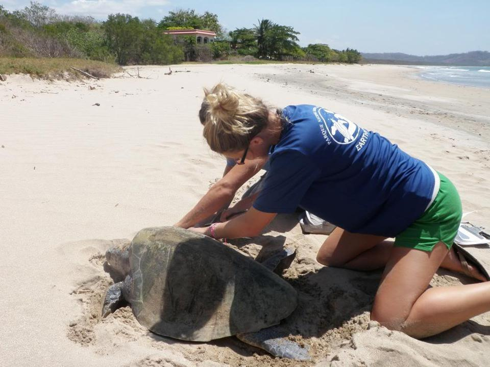 Volunteers can aid the monitoring program for nesting leatherback turtles at Goldring-Gun Marine Biology Station in Costa Rica.