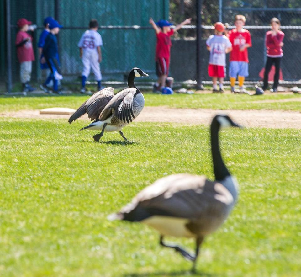 Canada geese patrolled the outfield at Newhall Park in Lynnfield last week. The waterfowl have increased in number, leading to concerns over the excrement they leave on the field.