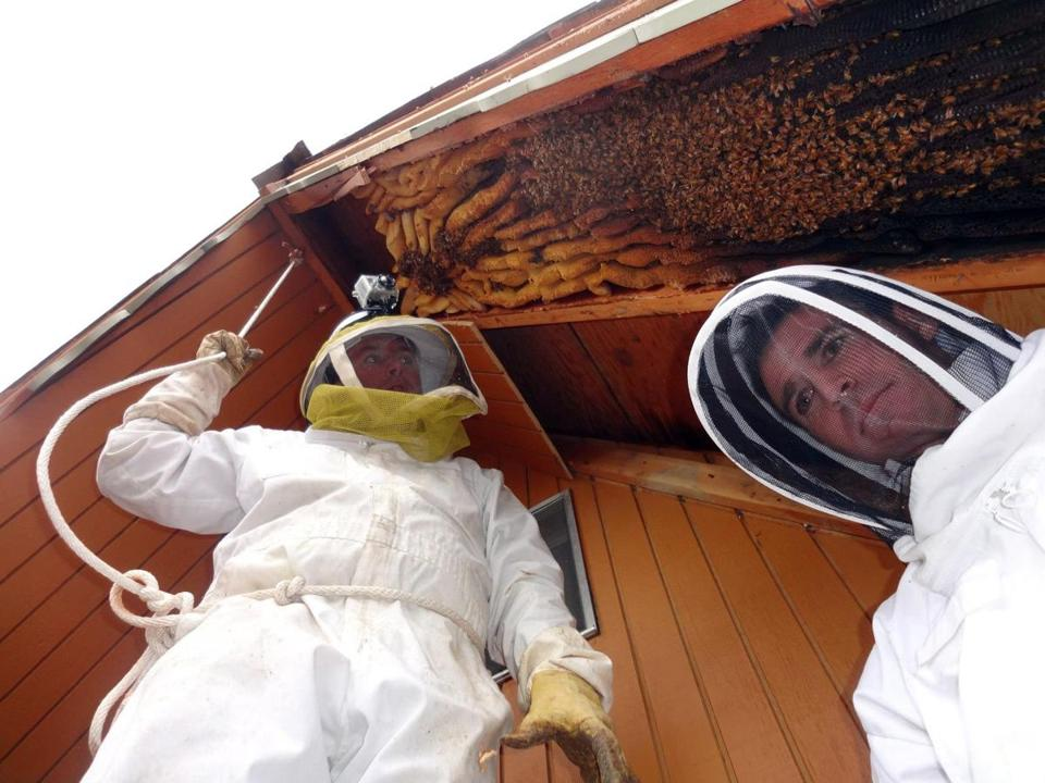 Beekeeper Vic Bachman and his partner, Nate Hall, prepared to remove a 12-foot-long beehive in Eden, Utah.