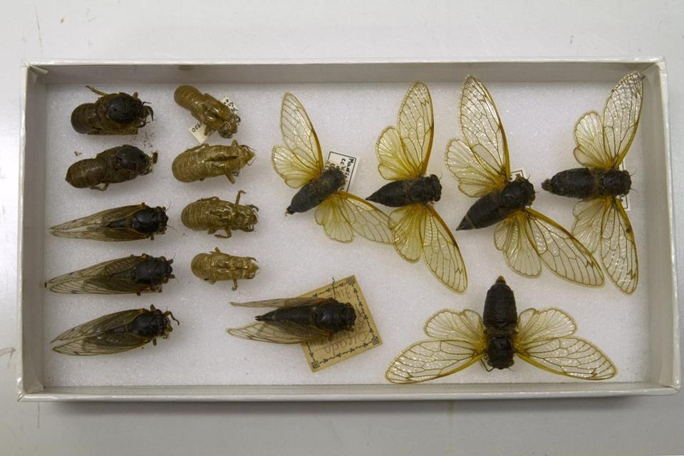 A box of preserved cicadas, including emerging insects and molted exoskeletons, in storage at the Smithsonian Institution's Museum Support Center in Camp Springs, Md.
