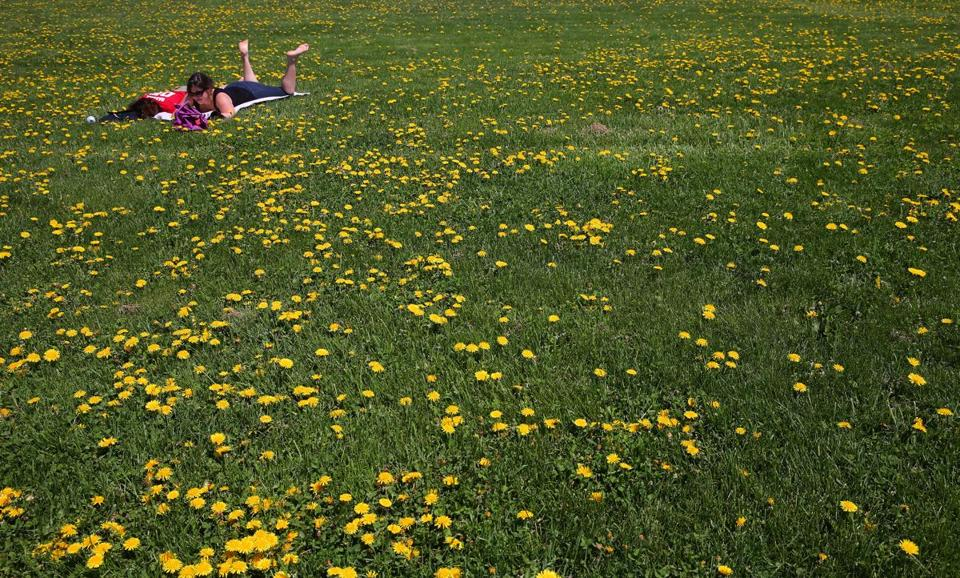 BOSTON , MA. 05/ 10/13: PRETTY WEEDS , dandelions made for a pleasant resting spot on a hill at Castle Island for L-R Sapna Saxena ( cq) and Amanda Holm ( cq) both of Boston. ( David L Ryan/Globe Staff Photo ) SECTION: METRO TOPIC stand alone photo