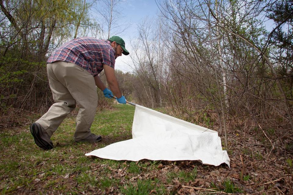 "Researcher Mostafa Elfawal ""flagged"" for deer ticks on Orchard Hill near the University of Massachusetts Amherst."