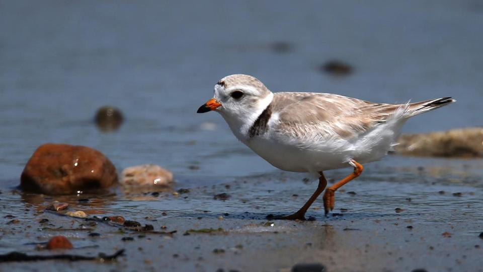 A Piping Plover on Duxbury Beach in June 2013.