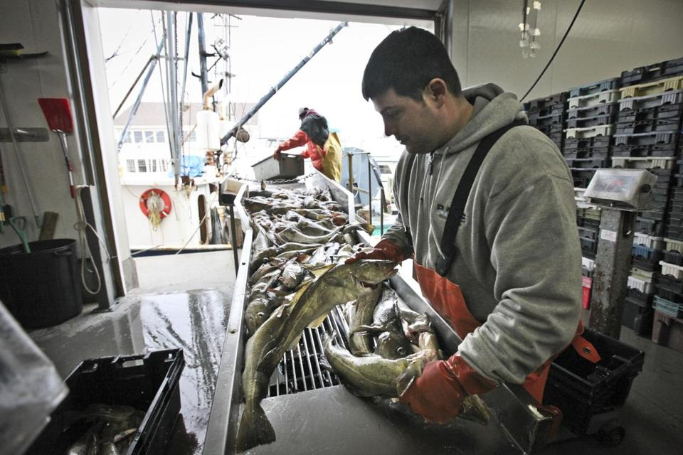 A worker sorted cod at Fisherman's Wharf as it was unloaded from fishing vessels in Gloucester last year.