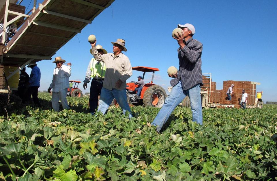 Workers harvested cantaloupes near Firebaugh, Calif.  A study states that 61 percent of the nation's illegal immigrants who arrived after 2001 work in the underground economy.