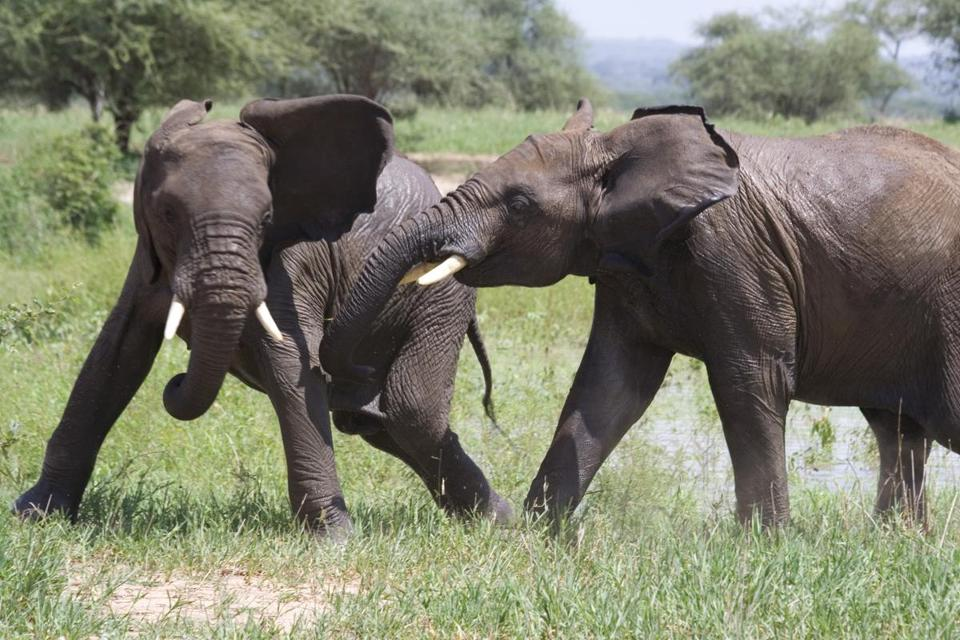 A new African project involving the Beverly-based School for Field Studies seeks to add to the world's understanding of elephants.