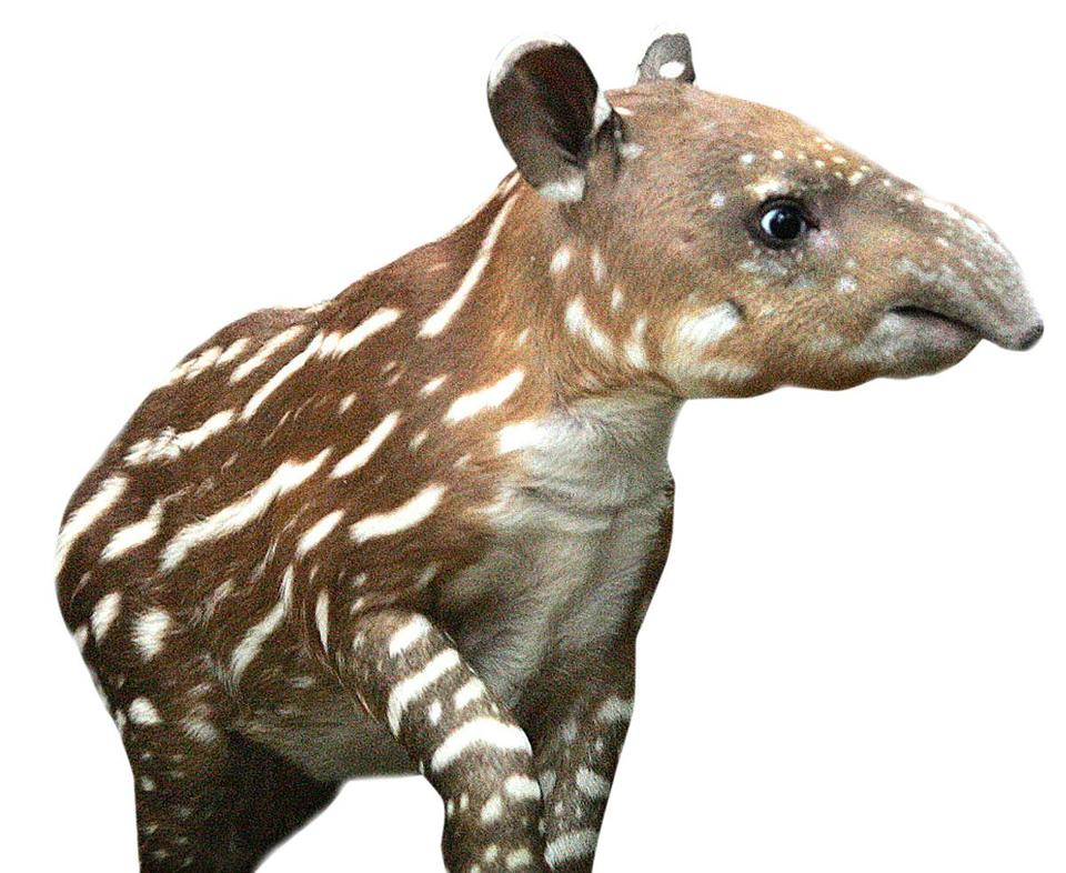 The Franklin Park Zoo's new  Baird's tapir calf will make her debut in a few weeks and will look similar to this calf, born there in 2007.