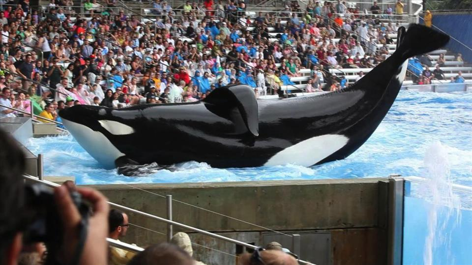"Tilikum, a bull orca who played a part in the deaths of three people, is the main character in the documentary ""Blackfish."""