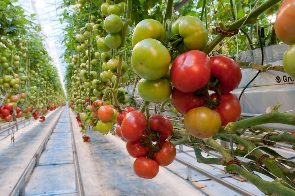 Backyard Farms' greenhouses for growing hydroponic tomatoes cover 42 acres in Madison, Maine.