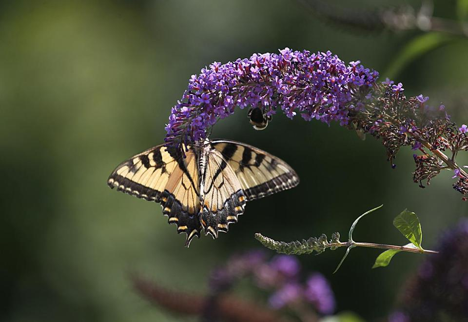 An eastern tiger swallowtail butterfly fed on a butterfly bush Monday at the Boston Nature Center in Mattapan, but the center's monarch way station has been empty of monarchs.