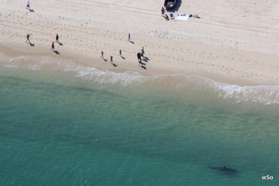 A great white shark, lower right, patrolled off  Cape Cod's Nauset Beach on Aug. 30, 2012.