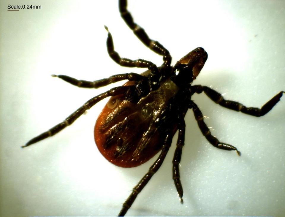 An adult female deer tick.