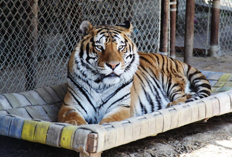 Tacoma, a 13-year-old Siberian tiger, in his enclosure at InSync Exotics animal preserve in Wylie, Texas in March.