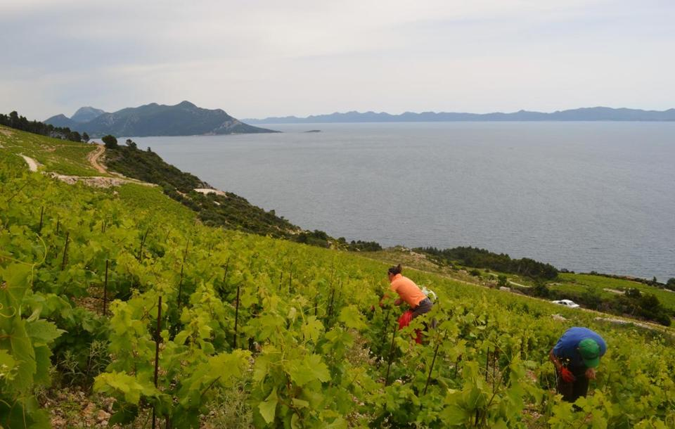 On the Peljesac peninsula, Mateo Vicelic's vineyard dates 300 years in his family alone, but winemaking there may be as ancient an endeavor as empire-building.