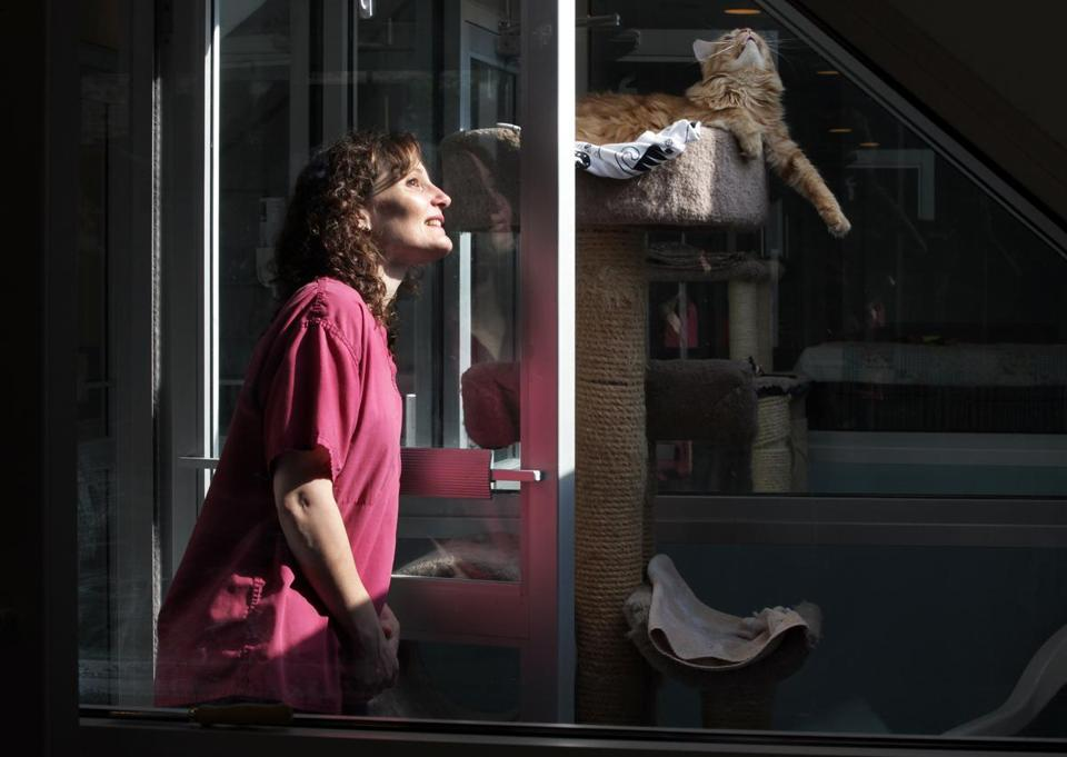 Marlene Simmons, manager of the MetroWest Humane Society's no-kill shelter in Ashland, checks on the skylight view of a feral cat.