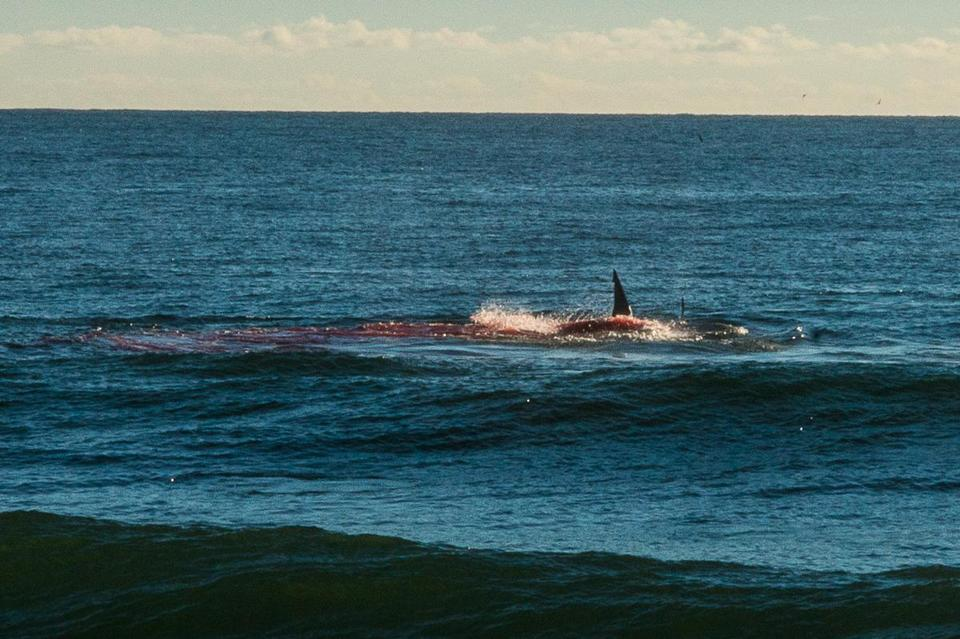 A shark eating a seal was spotted off Coast Guard Beach in Eastham in September.