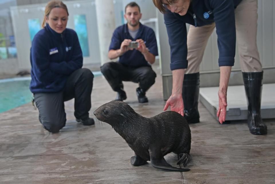 Workers at the New England Aquarium helped Kit into the water earlier this week. The baby Northern fur seal is now 6 weeks old and weighs 18 pounds.