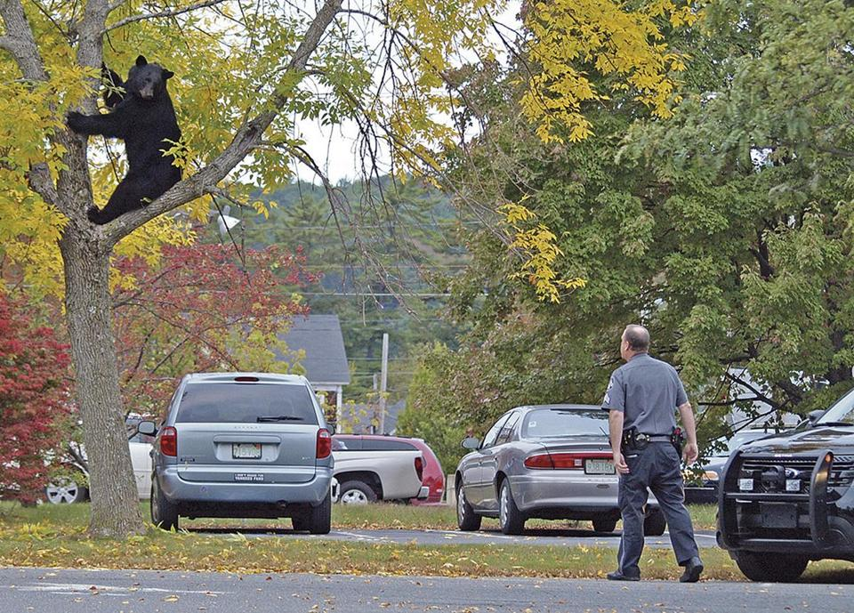 Athol Police Sergeant Christopher Casella kept watch on a black bear near Main Street.
