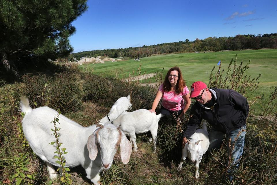 Goatscaping Co. founders Elaine Philbrick and Jim Courmier check on workers clearing a hillside at Black Rock Country Club in Hingham.