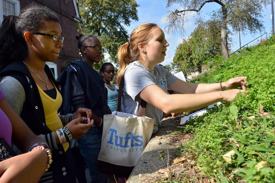 Alana Siegner picks chick-weed during a tour at Tufts with from the McCormack Middle School in Dorchester.