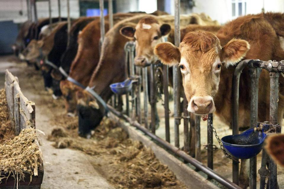 Dairy cows at Framingham's Eastleigh Farm, whose owner  is trying to avoid foreclosure.